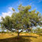 Olivenbaum-4-b-kroatien