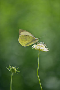 Little Butterfly  by AD DESIGN Photo + PhotoArt