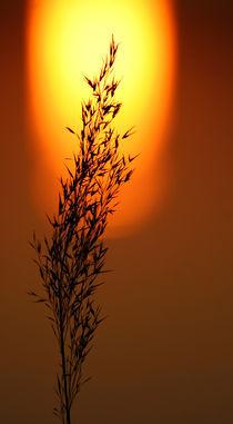 Sonnengras von Jana Behr
