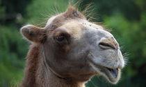 Kamel von buellom