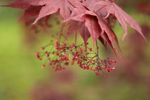 Japanese Maple by Bryan Kolb