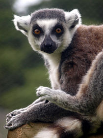 Lemur by Charlotte Fenner