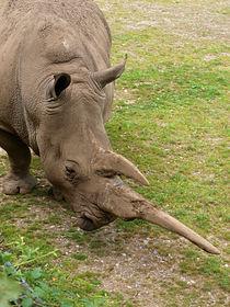 Rhino by Charlotte Fenner