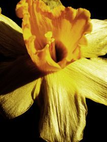 Daffodil by Charlotte Fenner