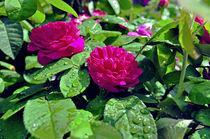 Rosen von Jens Uhlenbusch