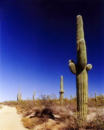 Cactus by Tony Minchew