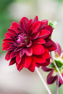 Red Dahlia von Michael Krause