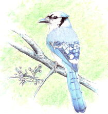 Little-bluejay
