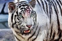 White Tiger by Nawal Khouildi