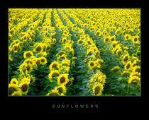 Sunflowers, Croatia, Slavonia by zaklina