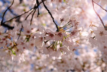 Focused Cherry Blossom von Meghan Salmeri