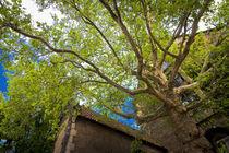 Meissen-2010-ahornbaum