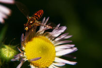Hoverfly1 by Charlene Frozen In Time Photos
