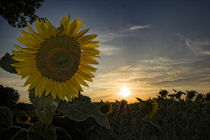 Tuscany Sunflowers by Marco Vegni
