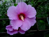 Purple hollyhock von Mirela Oprea