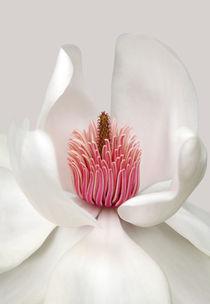 Magnolia by Brian Haslam