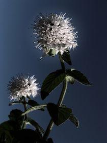 Blüte im letzten Sonnenlicht by Elke Balzen