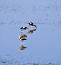 Avocets in Great Salt Lake by Louise Heusinkveld
