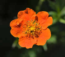 Orange Flower von Louise Heusinkveld