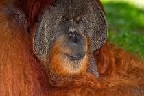 Orangutan by Louise Heusinkveld