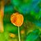 080111-mack-orange-poppy