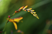 080111-crocosmia-00-flake
