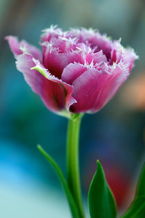 Ruffled Parrot Tulip by rhfineartphotography