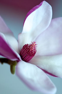 Perfect Pink Magnolia by rhfineartphotography