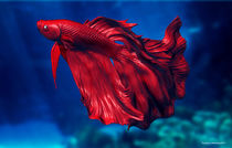 Siamese Fighting Fish by Truong Chau