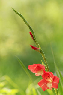 Gladiolus by Lija Baneviciute