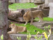 Lion Mates II by Amanda Macaluso