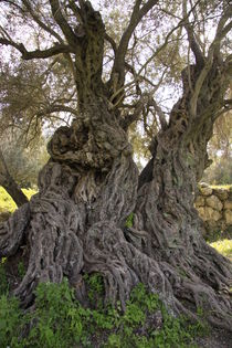 Israel, ancient Olive tree in Beth Gemel by Hanan Isachar