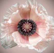 Poppy by Brian Haslam