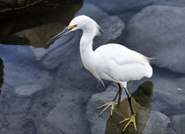 Just Wading Around - Snowy Egret (Egretta thula) by Eye in Hand Gallery