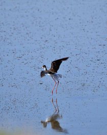 Black-necked-stilt0766