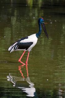 Black-necked Stork by Louise Heusinkveld