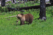 Grizzly in Yellowstone Park by Louise Heusinkveld