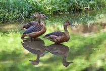 Lesser-whistling-duck4462