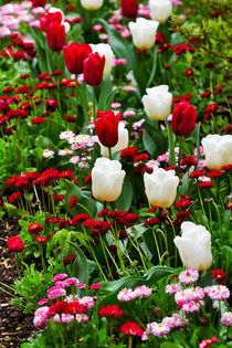 Red and White for a Spring Flowerbed by Louise Heusinkveld