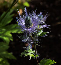 Sunlit bloom of Alpine Sea Holly von Louise Heusinkveld