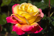 Beautiful Yellow and Red Rose by Louise Heusinkveld