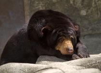 Sun-bear0063