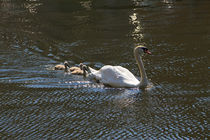 Swan-and-cygnets0495