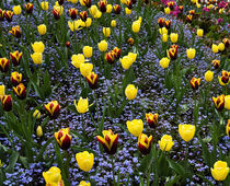 Red and Yellow Tulips with Blue Forget-me-nots by Louise Heusinkveld