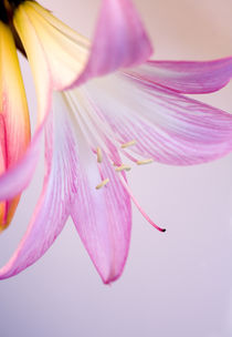 Lily by Brian Haslam