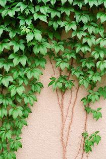 Lwcc-vines