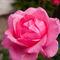 Crossford-rose
