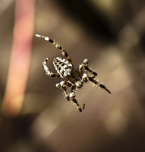 Araneus II by Daniel Sweet