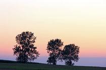 3 Pappeln im Abendlicht von Wolfgang Dufner