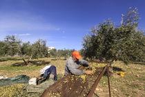 Lower Galilee, Olive picking in Shfaram  by Hanan Isachar
